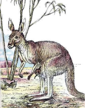 Чому кенгуру стрибає